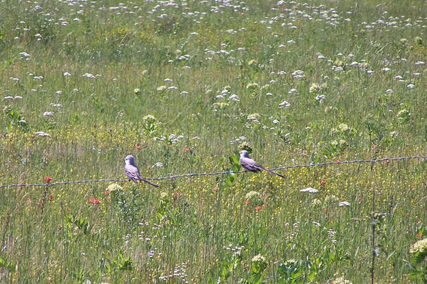 Two Scissortail Flycatchers sit on a wire fence near a field of flowers in Pickett, OK.<br/><b>Community Photo By:</b> Cindi Tennison<br/><b>Submitted By:</b> Cindi , Bethany