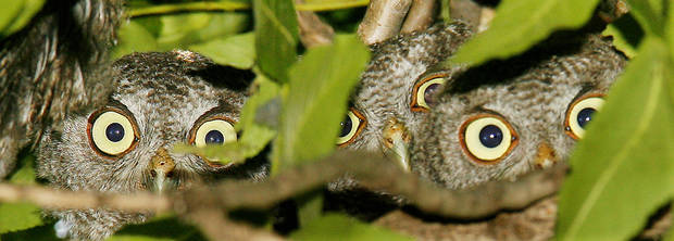 Three sets of eyes from baby screech owls peer down from a walnut tree in northwest Oklahoma City Thursday, June 18, 2009. Seven screech owls were counted in the tree by the photographer. The owls are taking refuge in the tree from harassing blue jays while being raised. Photo by Paul B. Southerland, The Oklahoman