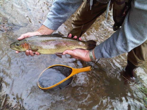 A rainbow trout caught at Spillway Creek on the Lower Mountain Fork River in McCurtain County