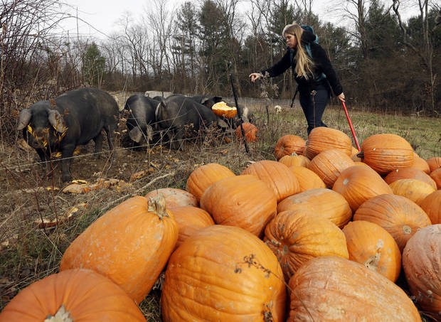 In this Thursday, Nov. 15, 2012 photo, Schuyler Gail feeds pumpkins to pigs at the family's Climbing Tree Farm in New Lebanon, N.Y. When Schuyler and husband Colby Gail were trying to get started in farming, they ran into an obstacle common to many fledgling farmers: Land was costly and hard to find. They turned to a local land conservancy, which matched them up with a landowner willing to sell for an affordable price. (AP Photo/Mike Groll)