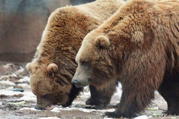 Grizzly bears Wil and Wiley step out of their enclosure in the Oklahoma Trails exhibit at the Oklahoma City Zoo. <strong>David McDaniel - THE OKLAHOMAN</strong>