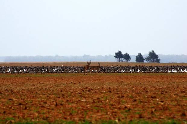 A buck and doe stand in front of a flock of geese at the Washita Wildlife Refuge in western Oklahoma. Photo by Levi Feltman/U.S. Fish and Wildlife Service