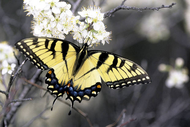 The Eastern Tiger Swallowtail, Papilio glaucus, can be found throughout Oklahoma and is one species that many people think of when they hear the word butterfly.  They are common and regularly visit gardens. <strong>Bryan E. Reynolds</strong>