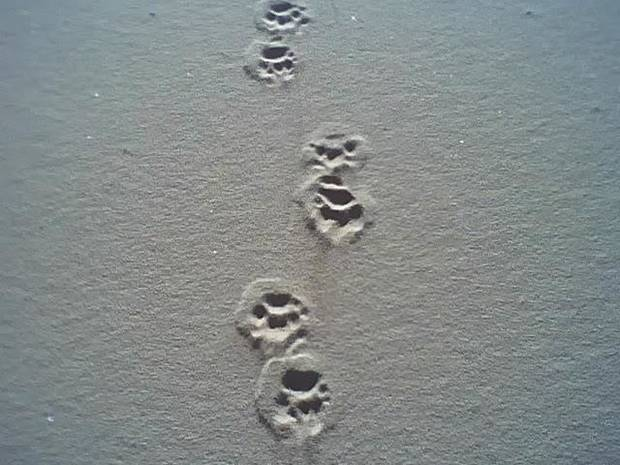 A big doggies footprints in the sand.. humm what if it was a wolf down by the river bank????????<br/><b>Community Photo By:</b> Tama<br/><b>Submitted By:</b> Tama, Midwest