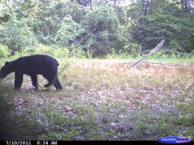 This bear was caught on film in Cherokee County <strong>Gary Hardesty - PHOTO PROVIDED</strong>