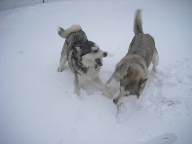 These two are my Alaskan Malamutes. The black and white one is named Jondalar, his my male, and the sable one is Ayla, she my female. Today they actually get to play in the snow and look like they belong.  Submitted by Mark Anderson.