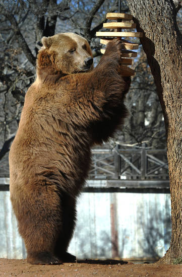 The Oklahoma City Zoo�s annual Groundhog Day prediction was made by grizzly bear brothers, Will and Wiley, Saturday morning, Feb. 2, 2013. Groundhogs are not part of the zoo�s collection, so these furry favorites have been designated as this year�s official Groundhog�s Day delegates. The public was invited to watch as the bears entered their exhibit  in the Zoo�s Big Rivers at Oklahoma Trails.  They were treated to a variety of treats, including fruits, nuts, popcorn, peanut butter, as well as honey that was spread on the windows of the exhibit.  Guests enjoyed free hot chocolate and doughnuts.    Photo by Jim Beckel, The Oklahoman