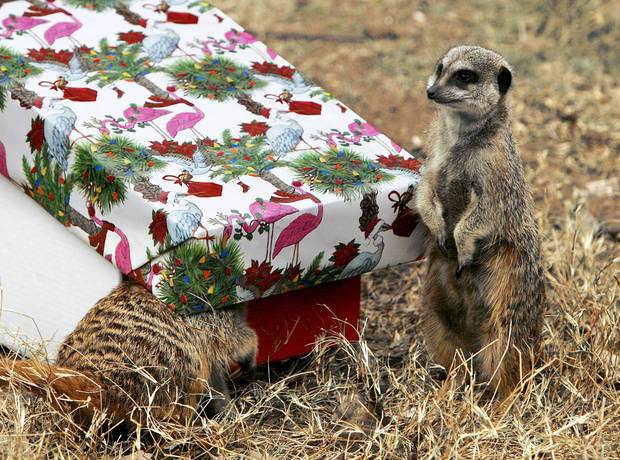 A meerkat enjoys a Christmas treat of crickets and mealworms as one of the enrichment activities provided to the meerkats.  PHOTO BY PAUL HELLSTERN, THE OKLAHOMAN