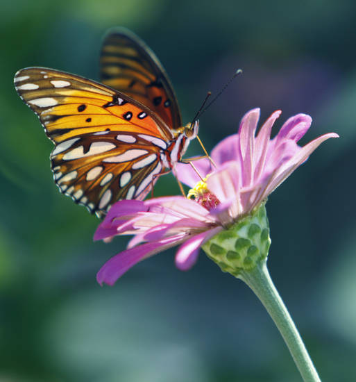 A butterfly dines on a zinnia flower in central Norman, Okla., on Wednesday, Sept. 29, 2010.  Photo by Steve Sisney, The Oklahoman
