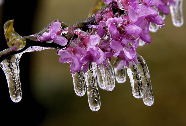 An early spring ice storm resulted in ice-covered branches on trees that had already  started blooming after several weeks of warm weather on April 10, 2013.  Photo by Jim Beckel, The Oklahoman.