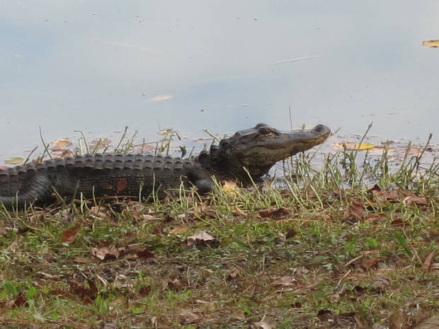 An alligator spotted on Sea Pines Forest Reserve. Photo by Tracy Teo