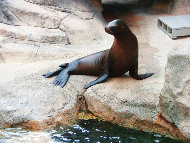 Moe, a 535-pound sea lion at the Oklahoma City Zoo, shown above, soon will be introduced to his little brother Dorsey from the Tulsa Zoo. PHOTO PROVIDED BY THE OKLAHOMA CITY ZOo
