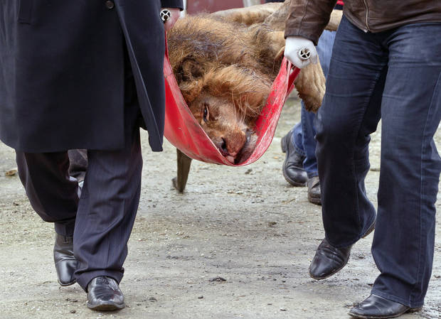 A sedated lion is carried on a stretcher, at the estate of Ion Balint, known to Romanians as Nutzu the Pawnbroker, a notorious gangster, in Bucharest, Romania, Wednesday, Feb. 27, 2013. Authorities along with specialists of the animal welfare charity Vier Pfoten removed four lions and two bears that were illegally kept on the estate of one of Romania�s most notorious underworld figures who reportedly used them to threaten his victims. Balint was arrested on Feb. 22, with dozens of others on charges of attempted murder, depriving people of their freedom, blackmail and illegally holding arms. (AP Photo/Vadim Ghirda)