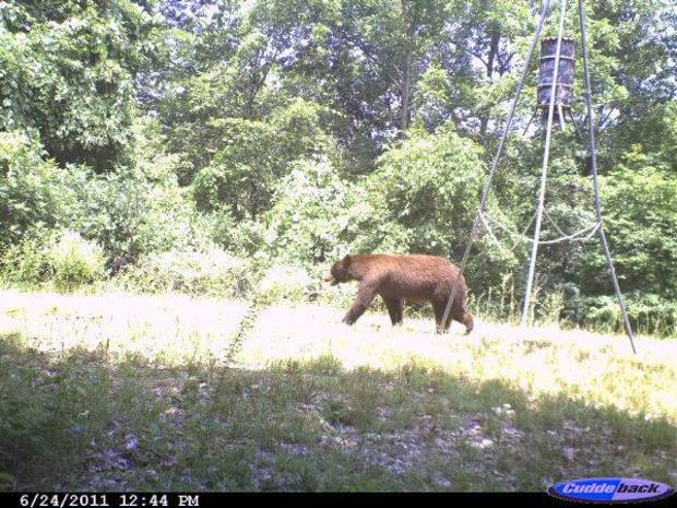 This bear was caught on a camera that was mounted on a tree north of Tahlequah. <strong>Gary Hardesty - PHOTO PROVIDED</strong>