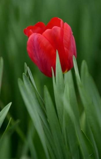 Tulip at Will Rogers Park. Photo by David McDaniel, The Oklahoman Archives