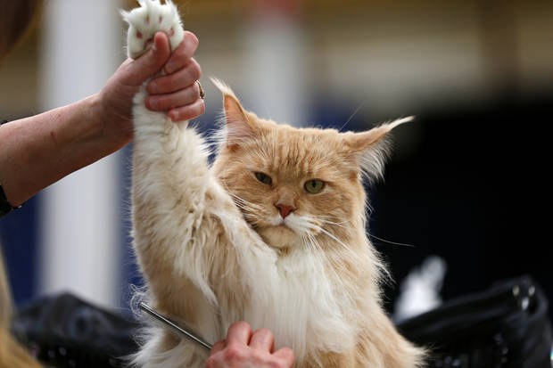 Mishikoonz To Kill A Mockingbird, a Maine Coon cat, is groomed during the Oklahoma City Cat Club cat show in Oklahoma City, Saturday, April 6, 2013. Photo by Bryan Terry, The Oklahoman