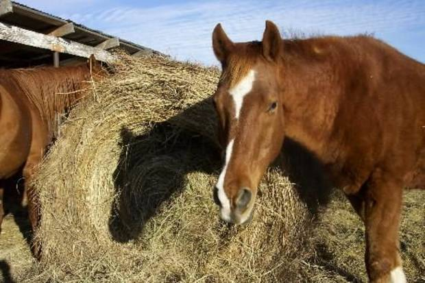 Horses munch on a bale of hay on Sunday, Jan. 4, 2009 at a field in northwest  Oklahoma City. Photo by Sonya Colberg