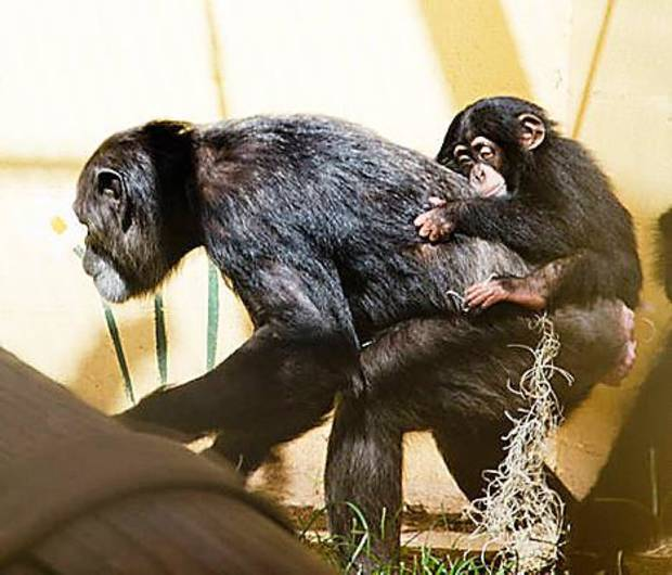 Ruben, an eight month old chimp who arrived at the Oklahoma City Zoo in July, rides on the back of his surrogate mother Kito at the zoo. <strong>Jennifer D?Agostino - Jennifer D?Agostino</strong>
