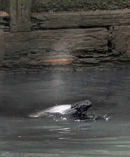 A dolphin surfaces in the Gowanus Canal with debris on its nose, in the Brooklyn borough of New York,  Friday, Jan. 25, 2013. The New York City Police Dept. said animal experts were waiting to see if the dolphin would leave on its own during the evening's high tide. If not, they plan to lend a hand on Saturday morning. According to authorities at the scene, the dolphin appeared to be adventurous, rather than stranded.(AP Photo/Richard Drew)