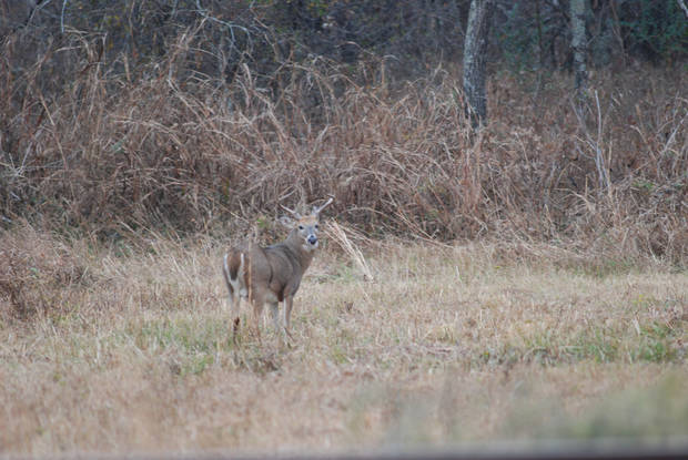 Oklahoma's deer muzzleloader season is now under way. The chance of deer-vehicle accidents increases over the next two months as whitetail deer enter the breeding season. In Oklahoma, the peak of the whitetail deer rut, or breeding season, normally occurs the week before deer gun season, but it can vary across the state. PHOTO BY NELS RODEFELD ORG XMIT: 0910240033181933