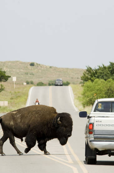 Visitors driving through the Wichita Mountains Wildlife Refuge might have to stop for buffalo. PHOTO PROVIDED. <strong>David McNeese</strong>