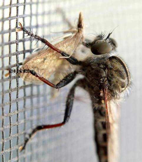 A horse fly eats a moth in Oklahoma City on Thursday, June 30, 2011. Photo by John Clanton, The Oklahoman
