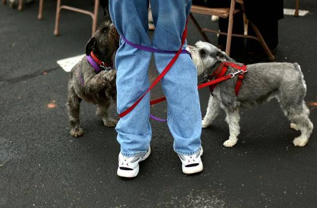 Miniature schnauzers Stella and Laney get their owner Charlie Crane, of Norman, tangled up in leashes during  a Blessing of the Animals service outside First Presbyterian Church in Norman on Sunday, Oct. 11, 2009. By John Clanton, The Oklahoman