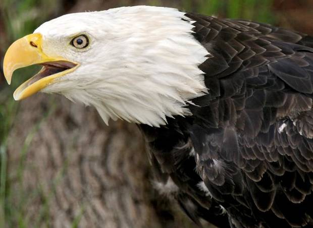 A bald eagle named Gussie watches visitors at the Oklahoma City Zoo in Oklahoma City on Tuesday, June 29, 2010. Photo by John Clanton, The Oklahoman ORG XMIT: KOD
