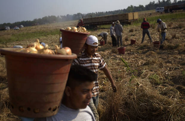Field workers pick onion bulbs May 10 on a Vidalia onion farm in Lyons, Ga.  AP Photo