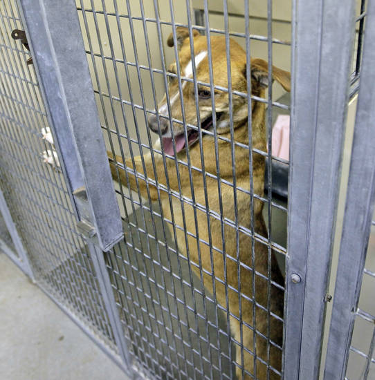 Lucy, a female labrador retriever, waits to be adopted at the Oklahoma City Animal Shelter, 2811 SE 29th St., in Oklahoma City, Wednesday, March 14, 2012. Photo by Nate Billings, The Oklahoman