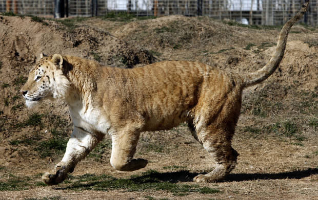 A large cat cross between a lion and tiger runs in an enclosure at GW Exotic Animal Park on Thursday, Feb. 28, 2013 in Wynnewood, Okla.  Photo by Steve Sisney, The Oklahoman