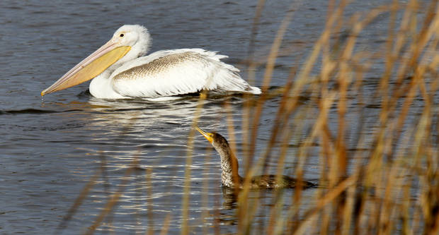 A White Pelican and a Cormorant swim at the Oklahoma City Zoo lake during it's migration south in Oklahoma City, Thursday December, 8,  2011. Photo by Steve Gooch, The Oklahoman.