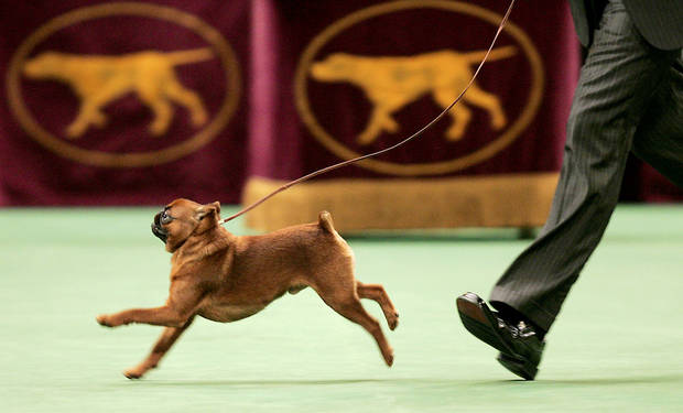 Lincoln, a Brussels griffon, walks around the ring at this year's Westminster Kennel Club dog show at Madison Square Garden in New York. AP PHOTO