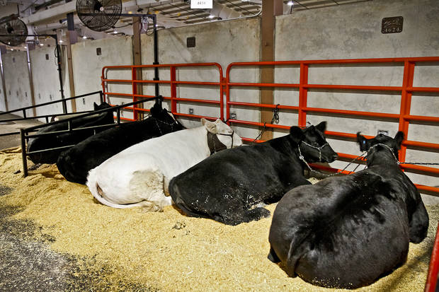 Cows sit in their make shift pens at the Oklahoma State Fair at State Fair Park on Friday, Sept. 14, 2012, in Oklahoma City, Oklahoma.  Photo by Chris Landsberger, The Oklahoman