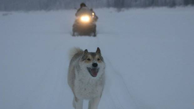 "One of Gennady Soloviev's dogs leads the way in Werner Herzog's ""Happy People: A Year in the Taiga."" PHOTO PROVIDED <strong></strong>"
