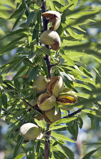 FILE - This Aug. 10, 2010 file photo shows almonds ready for harvest in Hilmar, Calif. In 2011, for the first time ever, the value of the California almond crop surpassed the state�s iconic grape industry to move into second place, behind dairy _ making almond producing land one of the highest priced and most sought-after in the region. The demand for almonds is driven largely by the newly-minted money-spending middle classes in China and India. (AP Photo/Al Golub, file)