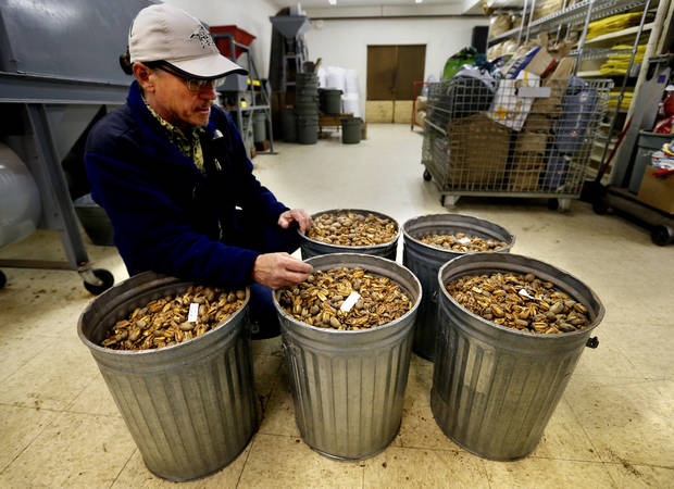 Brett Mason with Mason's Pecans & Peanuts shows buckets of freshly cracked pecans. PHOTO BY STEVE SISNEY, THE OKLAHOMAN <strong>STEVE SISNEY</strong>