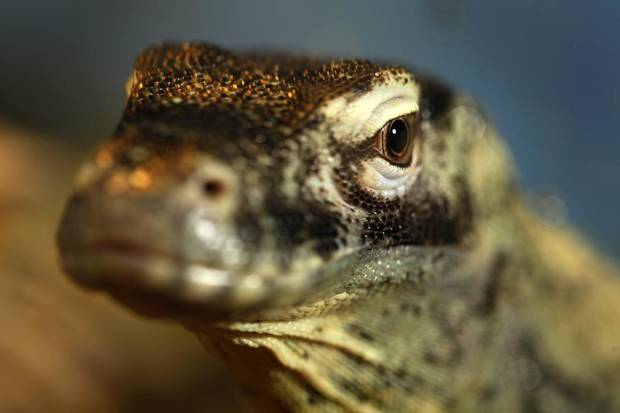 A young female Komodo dragon on display at the Oklahoma City Zoo,  August  01, 2011. Photo by Steve Gooch ORG XMIT: KOD