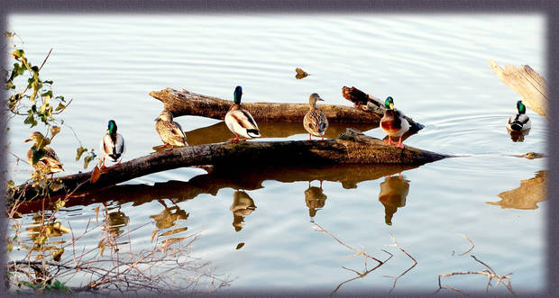 Ducks taking a rest at Lake Overholser.<br/><b>Community Photo By:</b> Eldon<br/><b>Submitted By:</b> Eldon, Bethany