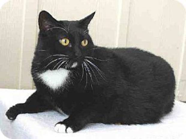 Big Momma is a great cat who needs a new family. She likes to be petted and would make an excellent companion for someone. Big Momma is 6 years old, weighs about 14 pounds and is available at the Edmond Amimal Welfare Shelter. PHOTOS PROVIDED