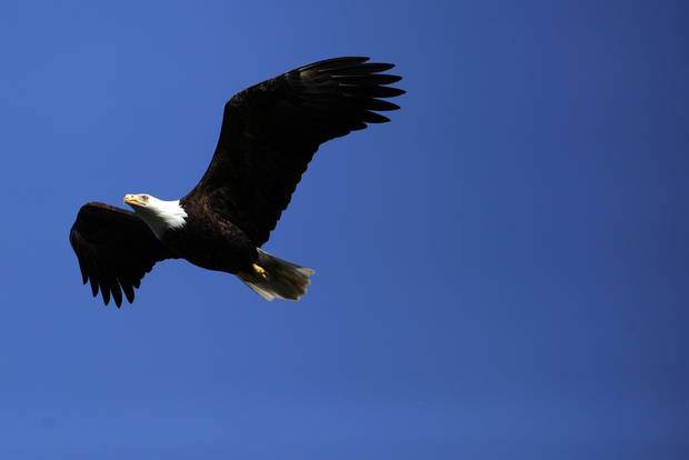 A Bald Eagle flies near the Inian Islands in Alaska, Wednesday, June 6, 2012.  Photo by Sarah Phipps, The Oklahoman