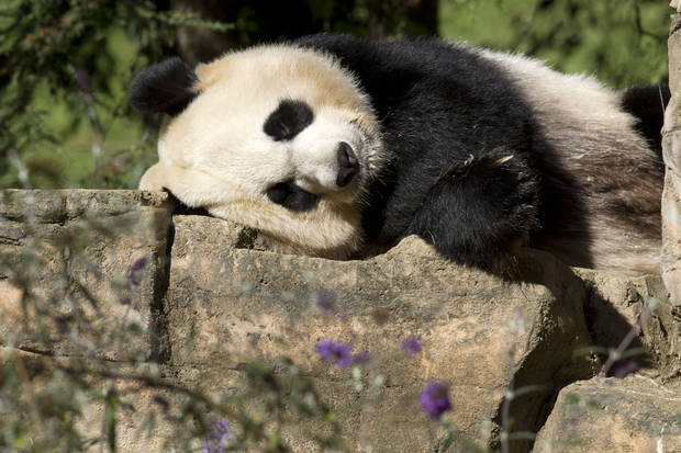 Mei Xiang, a giant female panda, rests at the National Zoo in Washington, Thursday, Oct. 11, 2012. The zoo announced Thursday that the recent death of Mei Xiang's cub was due to liver and lung damage. (AP Photo/Jacquelyn Martin)