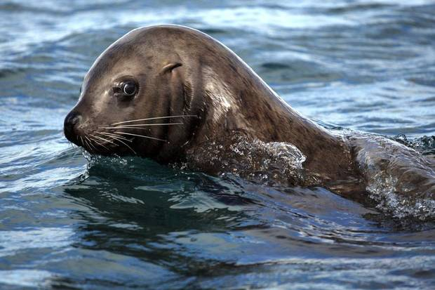 A Steller Sea Lion swims in the waters near  Inian Islands, Wednesday, June 6, 2012.  Photo by Sarah Phipps, The Oklahoman