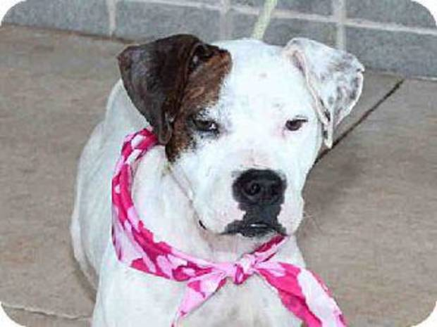 Doodle is a beautiful pit bull terrier who has had a rough life. Despite this she has a wonderful disposition and is slowly gaining weight. She is available at the Edmond Animal Welfare Shelter. PHOTOS PROVIDED