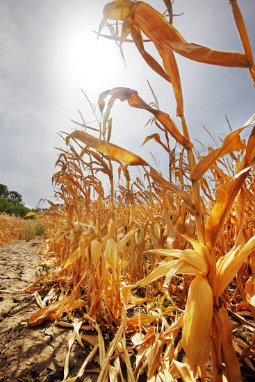 DROUGHT / HEAT / SUMMER / HOT WEATHER: Field of unharvested corn baking in the sun on Britton Road east of Midwest Boulevard in Oklahoma City Tuesday, July 3, 2012. Photo by Paul B. Southerland, The Oklahoman