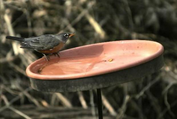A robin bathes during the Christmas  Bird Count at Martin Park Nature Center, Saturday, Dec. 20, 2008, in Oklahoma City. PHOTO BY SARAH PHIPPS