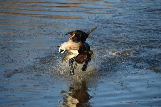 Duck season is open statewide