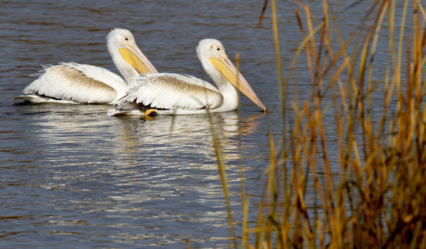 White Pelicans make a stop at the Oklahoma City Zoo lake during it's migration south in Oklahoma City, Thursday December, 8,  2011. Photo by Steve Gooch, The Oklahoman.