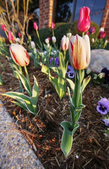 Tulips blooming at sunrise near N Rockwell and W Hefner signal the beginning of spring in Oklahoma City. Photo by Paul B. Southerland, The Oklahoman <strong>PAUL B. SOUTHERLAND - PAUL B. SOUTHERLAND</strong>