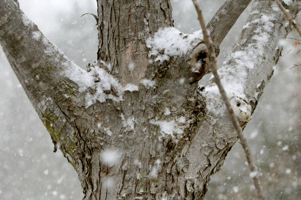 Snow collects on a tree in Edmond, OK, Friday, December 28, 2012,  By Paul Hellstern, The Oklahoman